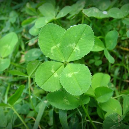 4-leaf_clover