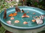 butterfly-water-dish-for-breast-cancer-gardening