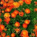 Calendula_officinalis_001
