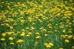 Dandelions-0031