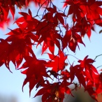 Japanese_Maple_Acer_palmatum_Backlit_2700px