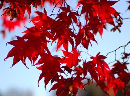 Japanese_Maple_Acer_palmatum_Backlit_2700px