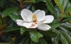 Magnolia_flower_Duke_campus