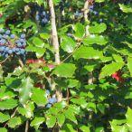 Mahonia_aquifolium