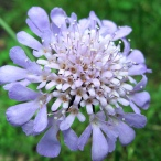 pincushion-flower-10