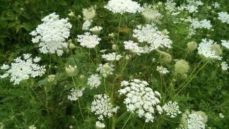 Queen_Anne's_Lace_in_Pennsylvania.