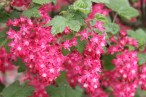 Ribes-Flowering-Currant-1